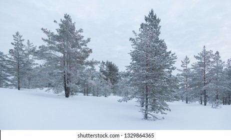 Rarely standing pine trees covered with frost and snow