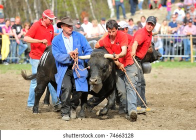RARON, SWITZERLAND - APRIL 3: Owner and assistants try to control a cow during the fighting cow championships in Raron on April 3, 2010 in Raron, Switzerland