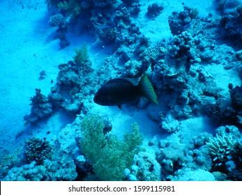 Ras Ghozlani - Egypt : Triggerfish on seafloor