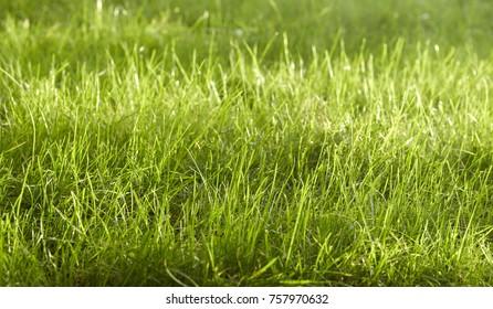 Grüner Rasen ungeschnitten