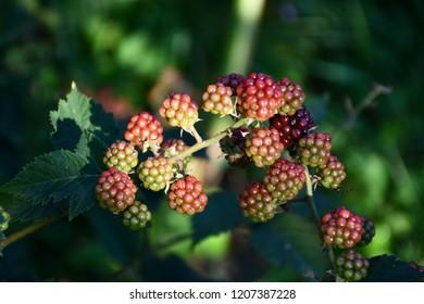 Raspberries in the garden.