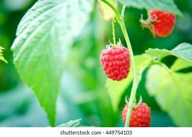 Raspberries in green leaves