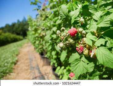 Raspberries growing on raspberrry canes in a pick your own fruit farm in the English countryside, UK.