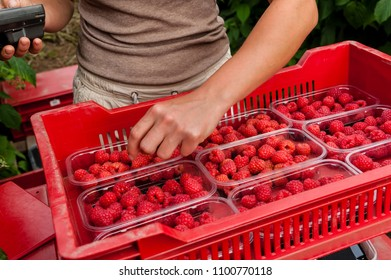 Raspberries harvested and stored in containers.