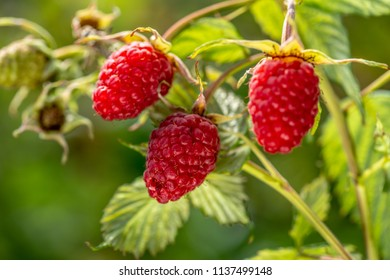 raspberries on a branch