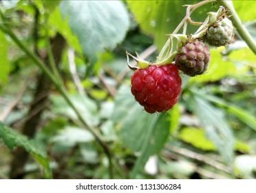 Raspberries are ripen