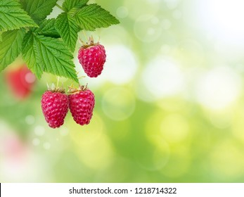 Raspberry branch. Ripe and juicy dangling red berries and fresh leaves on the blurred summer sunny garden background.