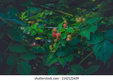 A raspberry bush coming close towards harvest.