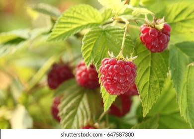 Raspberry bush plant