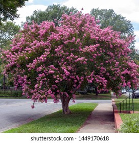 Raspberry colored crepe myrtle tree in Virginia residential neighborhood. Crape or crepe myrtles are chiefly known for their colorful and long-lasting flowers which occur in summer.