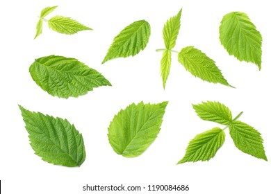 raspberry green leaves isolated on white background. top view