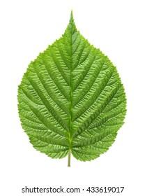 Raspberry leaf isolated on white background