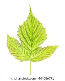 raspberry leaf isolated on white background clipping path