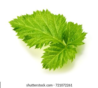 Raspberry leaf isolated on white background. Top view.