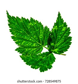 Raspberry leaves on white background