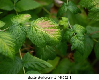 Raspberry leaves turning brown. Sickness, ill plant in garden.