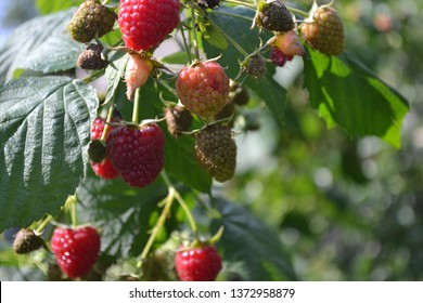 Raspberry ordinary. Gardening. Home garden, flower bed. House. Rubus idaeus, shrub, a species of the Rubus genus of the family Rosaceae. Tasty and healthy. Red berries