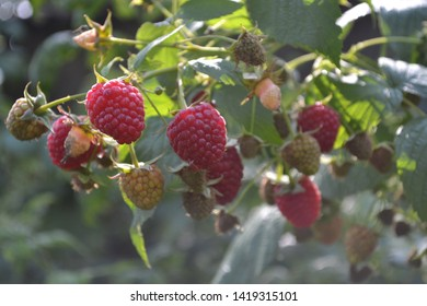 Raspberry ordinary. Gardening. Home garden, flower bed. House, field, farm, village. Rubus idaeus, shrub, a species of the Rubus genus of the family Rosaceae. Tasty and healthy. Red berries