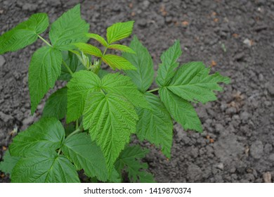 Raspberry ordinary. Gardening. Home garden, flower bed. House. Rubus idaeus, shrub, a species of the Rubus genus of the family Rosaceae. Young shoots. Green bushes