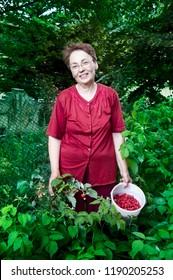 Raspberry picker harvest season, a woman picks Raspberry at her side yard.
