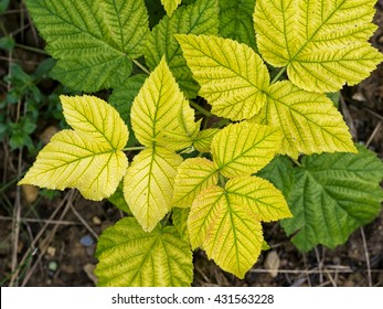 Raspberry plant with yellow leaves, green veins. Nutrient deficiency. Probably lack of iron. Gardening problem.