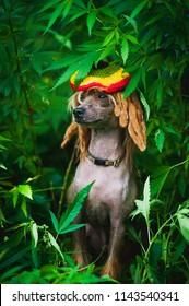 The rastaman dog sits in a hemp bush
