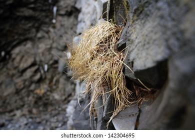 Rastrojo en piedra bas�¡ltica en Islandia