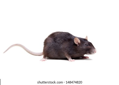 Rat, 3 year old, isolated on the white background