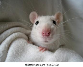 rat-5-260nw-59663122.jpg