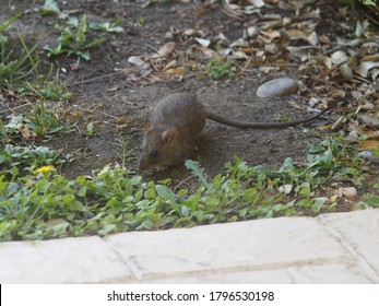Rat in back yard near patterned concrete. With copy space.