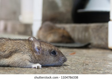 Rat being drying after eat rat poison.