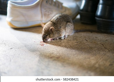 Rat being dying after eating Rat poison.