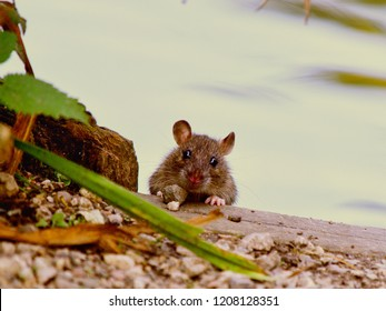 Rat by Water
