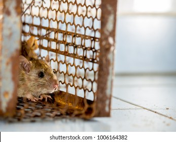 rat in a cage catching a rat. the rat has contagion the disease to humans such as Leptospirosis, Plague. Homes and dwellings should not have mice. concept of Sanitation and Health. animal control