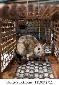 The rat was in a cage catching. Rat has contagion the disease to humans such as Leptospirosis, Plague. Homes and dwellings should not have mice. Pet control.Animal contagious diseases prevent