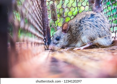 rat in a cage catching a rat. the rat has contagion the disease to humans such as Leptospirosis, Plague. Homes and dwellings should not have mice. concept of Sanitation and Health.