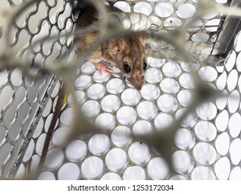 Rat in cage mousetrap on white background, Mouse finding a way out of being confined, Trapping and removal of rodents that cause dirt and may be carriers of disease, Mice try to find freedom