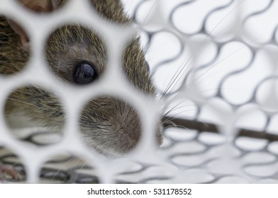 Rat in a cage trap with no way out no way to escape