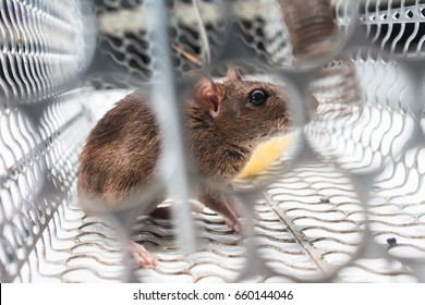 rat in the caged