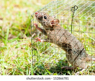 Rat caught in a cage trap.