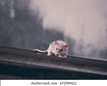The rat climb up on the roof of the slop.