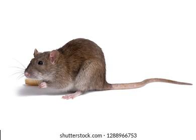 rat close up isolate on white background