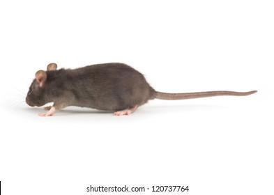 rat close-up isolated on white background