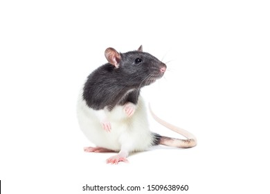 rat close-up isolated on white background, rat on new year and Christmas