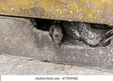 A rat come out from under the building. selective focus