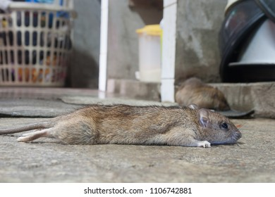 Rat drying after eat rat poison.