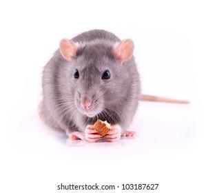 Rat eating almonds