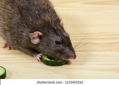 Rat eats a cucumber on a wooden table.