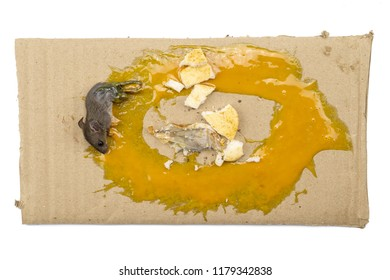 Rat in glue trap. Dead rat trapped by sticky mouse trap Science Adhesives  On a white background
