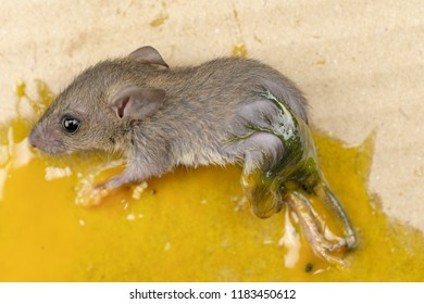 Rat in glue trap. Dead rat trapped by sticky mouse trap,Science Adhesives
